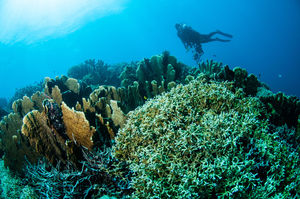 Fire Coral in Indonesia