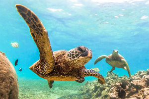 http://www.scubadiving.com/7-facts-about-green-sea-turtles
