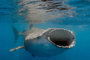 swimming with whale sharks in mexico