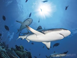 scuba diving with sharks in Papua New Guinea