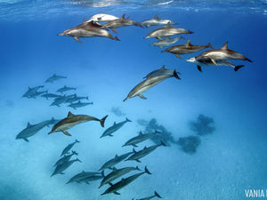 spinner dolphins in red sea egypt