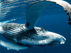 Humpback whale underwater photo world whale day