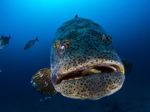 scuba diving with goliath grouper