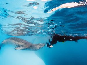 Scuba diving with leopard seal Antarctica underwater photography